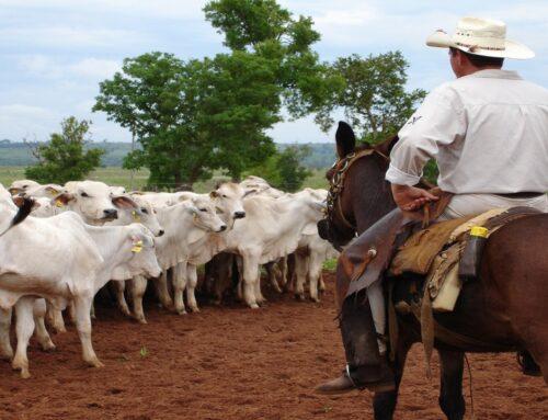 Manejo racional de bovinos: Como ele impacta a produtividade do seu gado?