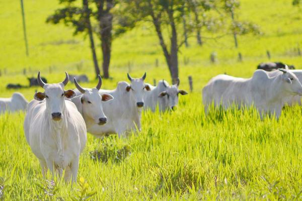 O Que Preciso Saber Antes De Investir Em Pecuária De Corte?